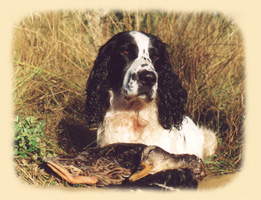 Russian Spaniel 1